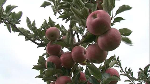 Gajenje jabuke - © Danijela Jovanović
