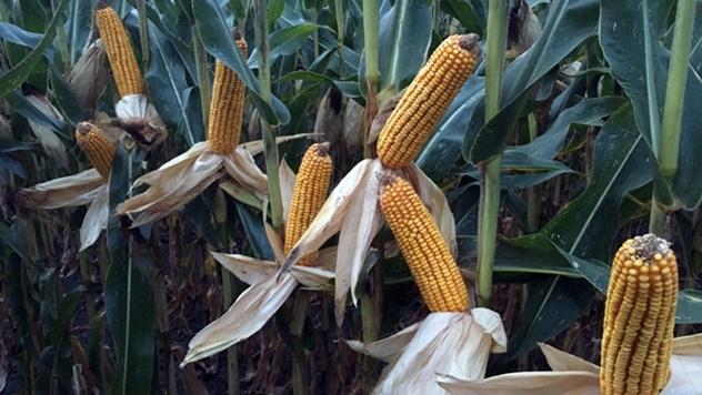 Hibridi kukuruza za maksimalne prinose - © Dekalb