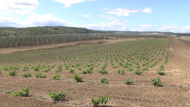 Vinograd i voćnjak u Zaječaru - ©Agromedia