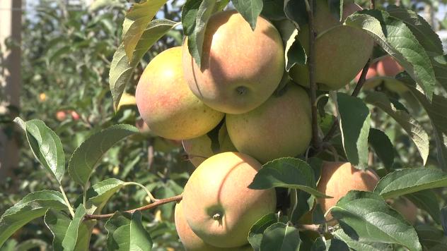 Berba jabuka u Zaječaru - ©Agromedia