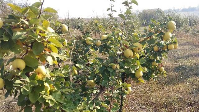 Zašto voće u dvorištu rađa sve manje ploda?- © Agromedia