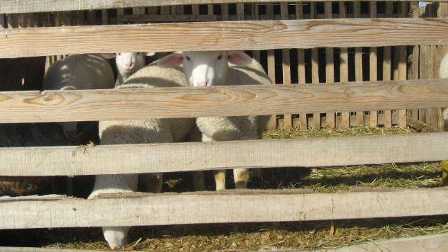 Ovce i jaganjci - © Foto: Biljana Nenković