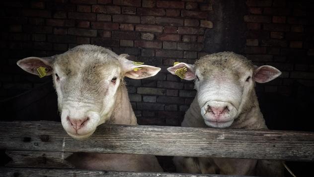Ovce rase Ile de France - © Nikola Stanić