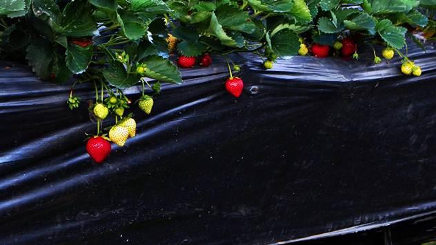 Upotreba folija u gajenju povrća i jagodičastog voća može znatno da poveća prinos i poboljša uzgoj - © Pixabay