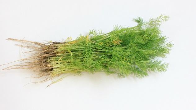 Gajenje mirođije u bašti i saksiji - © Pixabay