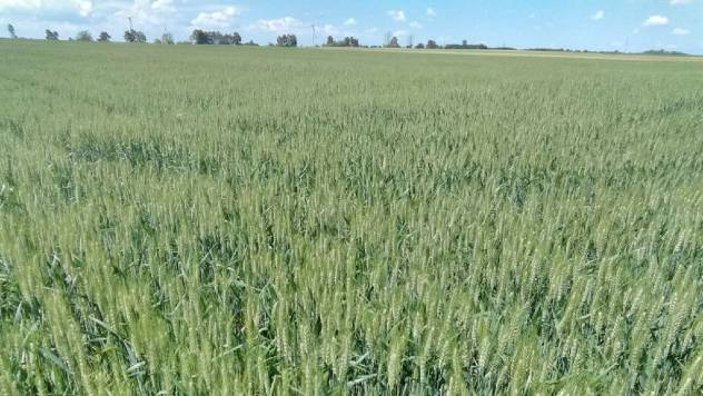 Ponuda pšenice Galenika Fitofarmacija - © Galenika Fitofarmacija