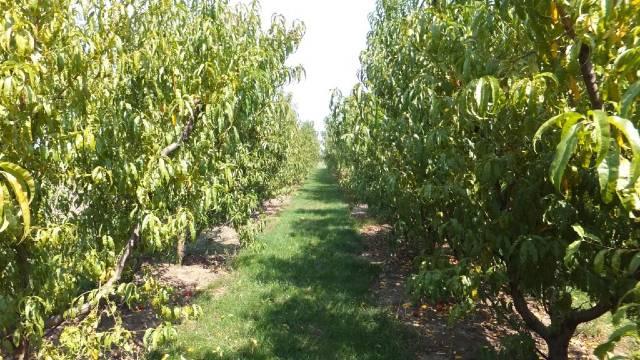 Zašto je važna prihrana koštičavog voća nakon berbe i kako se sprovodi - ©Galenika-Fitofarmacija