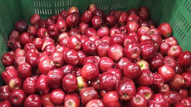 Zaštita jabuka u skladištu - © Galenika Fitofarmacija