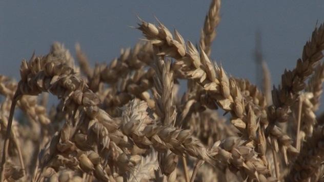 pšenica Nikol - @Agromedia