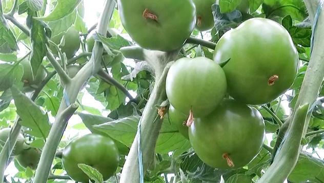 Zaštita paradajza - © Galenika-Fitofarmacija