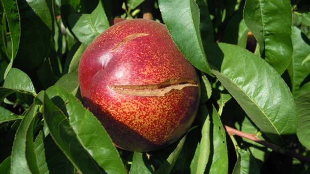 Prihrana voća - © Galenika Fitofarmacija