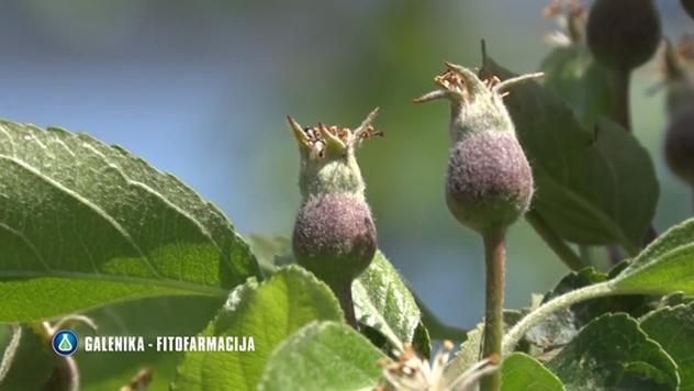 Zaštita jabuke - © Galenika-Fitofarmacija
