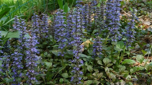 Divlji travnjak: Šareni biljni tepih koji ne mora da se kosi - © Wikimedia