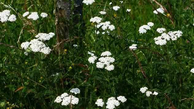 Hajdučka trava je veoma lekovita - © Pixabay