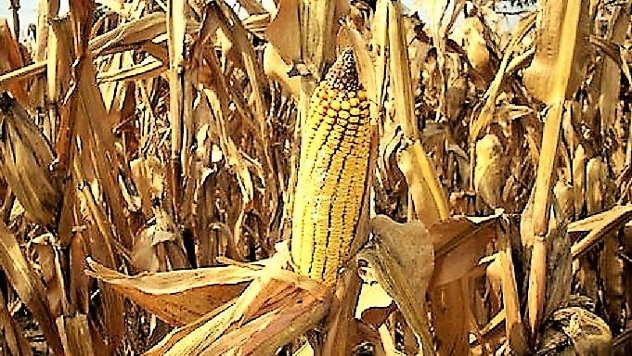 Ogledna polja pod kukuruzom - © Foto: Elena Marjanović