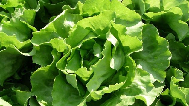Zelena salata Zeralda - © Holland Angro