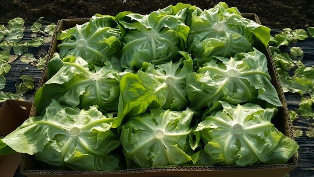 Zelena salata Jukebox za zimsku proizvodnju - © Holland Angro