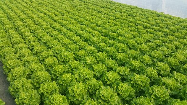 Zelena salata Tonale - © Holland Angro