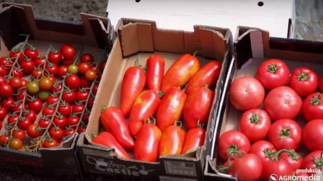Plastenička proizvodnja: Ovi hibridi paradajza stižu ranije- © Agromedia