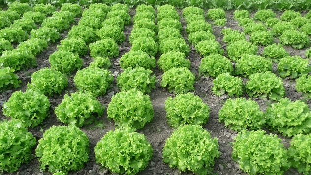 Zelena salata Lirice - © Holland Angro