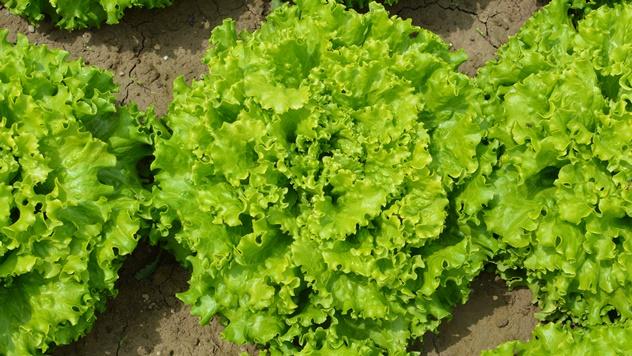 Salata sorte Abicce  - © Holland Angro