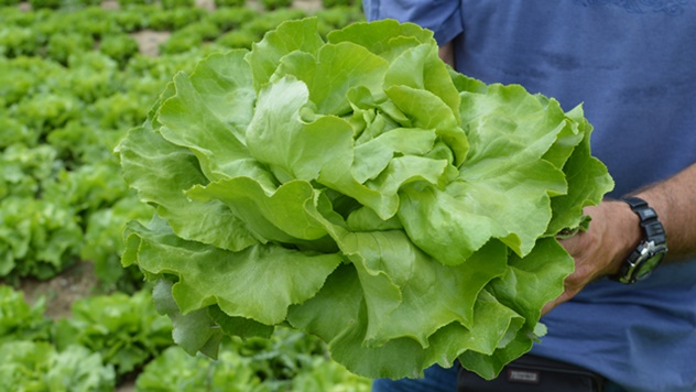 Salata sorte Speranzia  - © Holland Angro