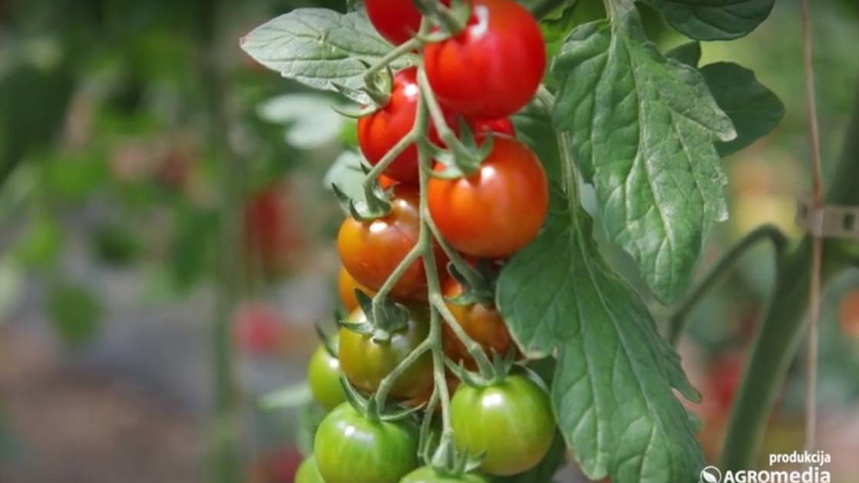 Plastenička proizvodnja: Ovi hibridi paradajza stižu ranije - © Agromedia