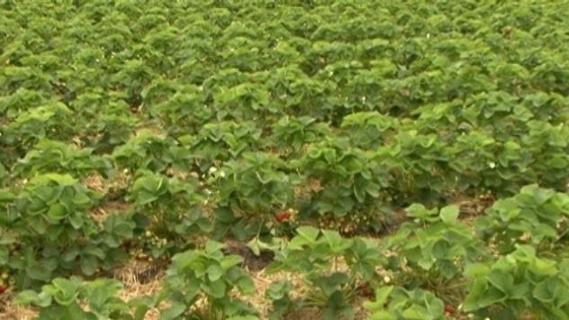 Berba i prodaja jagoda iz Kisača počela je tek prethodnih dana - © Agromedia