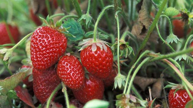 Nove sorte jagode koje daju bolje prinose - © Agromedia