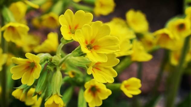 Jagorčevina - lekovita biljka koja se lako gaji - © Pixabay