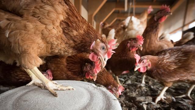Trik za veću produktivnosti jata: Kako postavljanje žičanih merdevina smanjuje stres kod kokošaka - © Pixabay