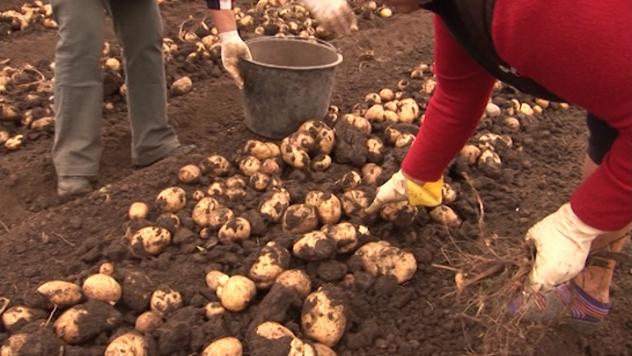 Vađenje krompira - @Agromedia
