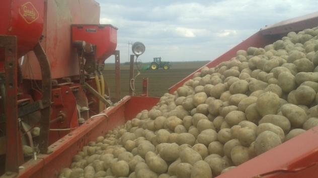 Krompir na njivi - ©Agromedia