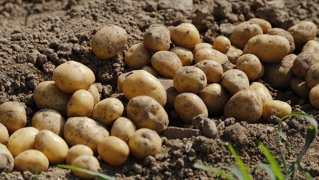 Krompir na njivi - ©Pixabay