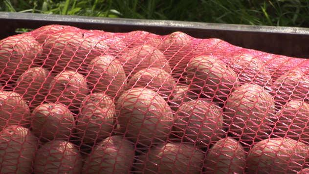 Krompir u džaku - ©Agromedia