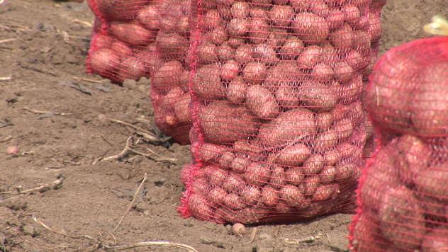 Krompir u džakovima - © Agromedia