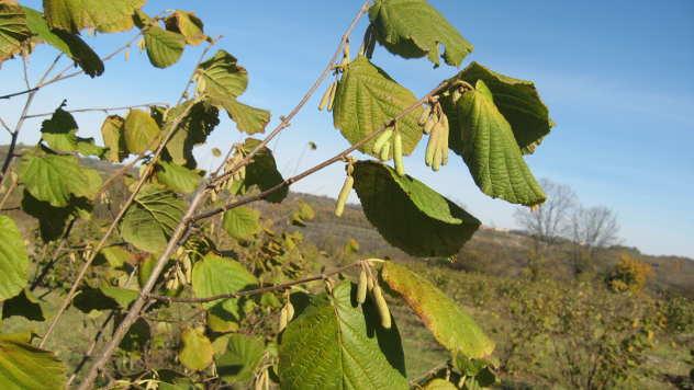 Orezivanjem lešnika povećavate prinose - © Agromedia