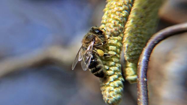 Leskin polen važan izvor hrane za svaku pčelu u rano proleće - © Pixabay