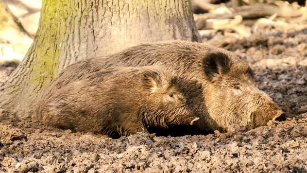 Divlje svinje - © Pixabay