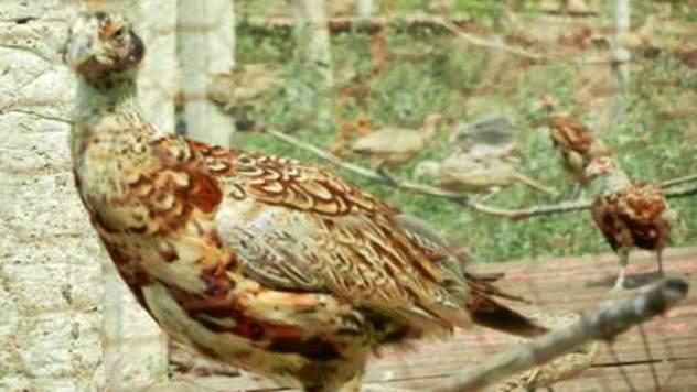 Lov na fazane u Nišu sve primamljiviji meštanima ali i strancima - © Milica Branković