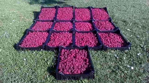Ubrani plodovi maline, sorte Vilamet