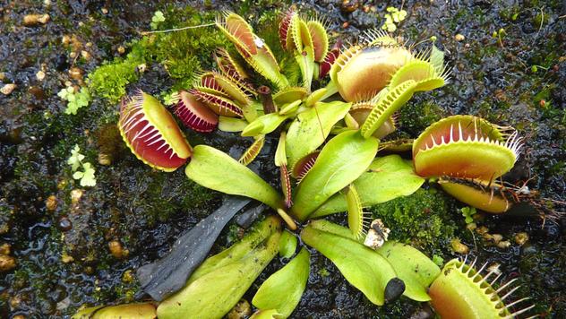 Evo kako da gajite biljku mesožderku - © Pixabay