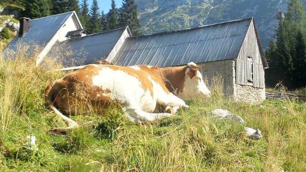 Krava - © Foto: Miha Ambrož