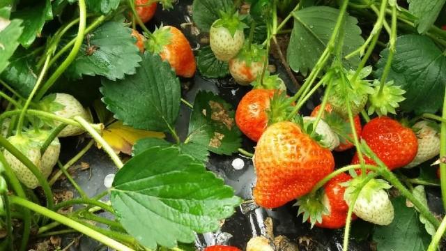 Oodličan rod i cena jagoda: Proizvođači nikada zadovoljniji - © Milanko D. Agromedia