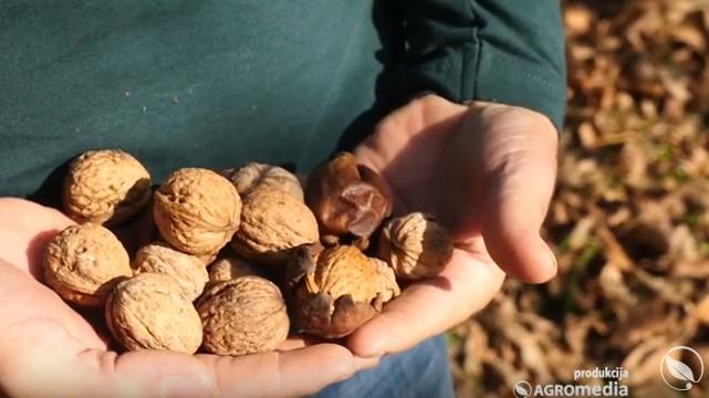 Zašto proizvođači gaje laterlane sorte oraha - © Agromedia