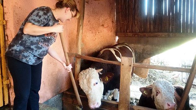 Mirjana hrani bikove - © Julijana Kuzmić/Agromedia