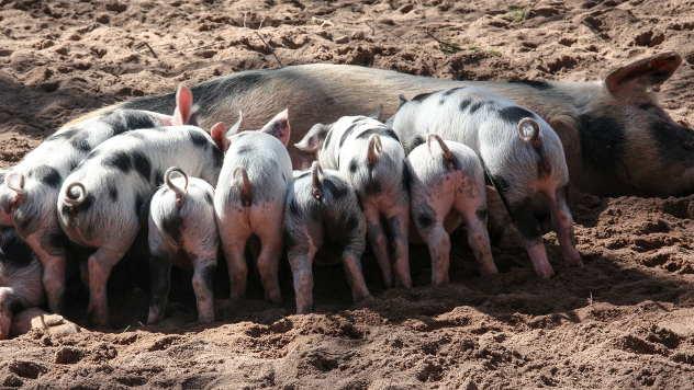Opada broj gajenih svinja u Srbiji - © Foto: www.pixabay.com