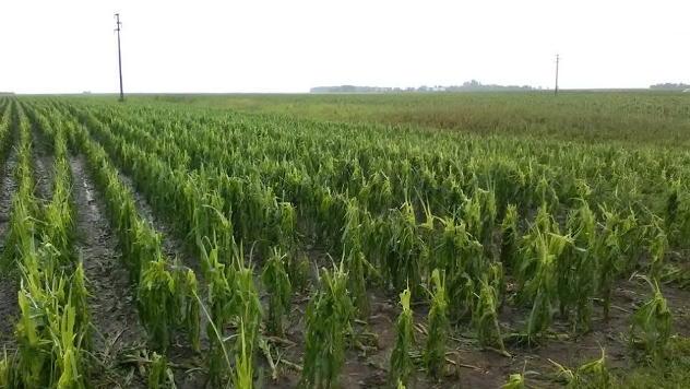 Polja kukuruza posle oluje © Foto: Dragana Starčević