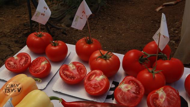 Hibridi povrća - ©Agromedia