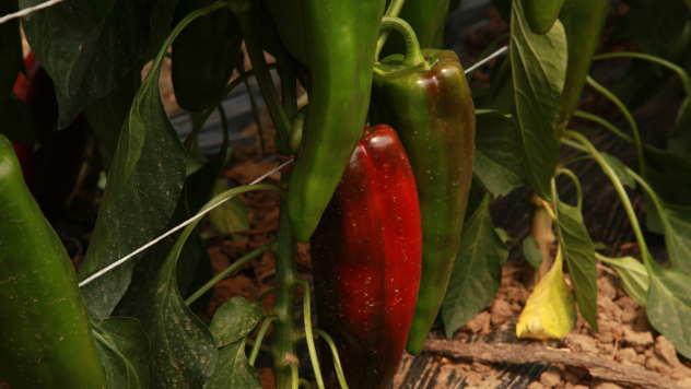 Paprika u plasteniku - ©Agromedia